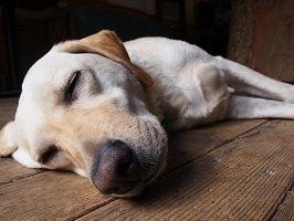 老犬の床ずれ防止は2つのポイントを知っておけば大丈夫!