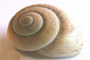カタツムリの殻の構造:殻が割れたら再生するの?