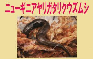 ニューギニアヤリガタリクウズムシ