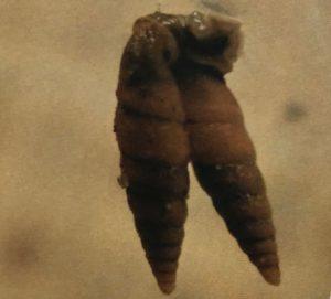 キセルガイの交尾