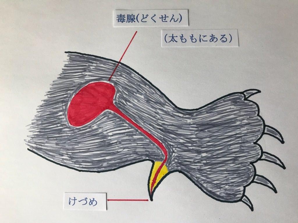カモノハシ 毒 症状