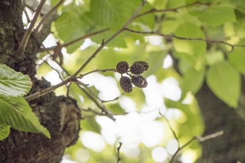 ヤシャブシの葉