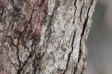 ヤシャブシの幹