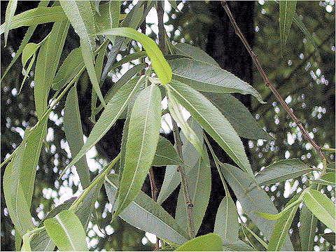 ヤナギの葉