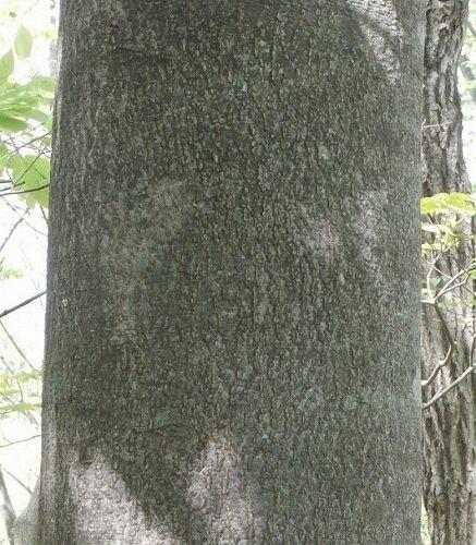 イヌブナの幹