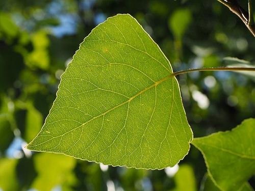ポプラの葉