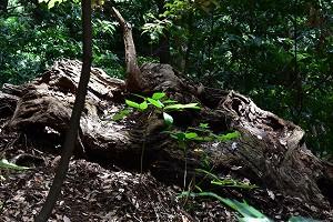 クワガタ 枯れ木